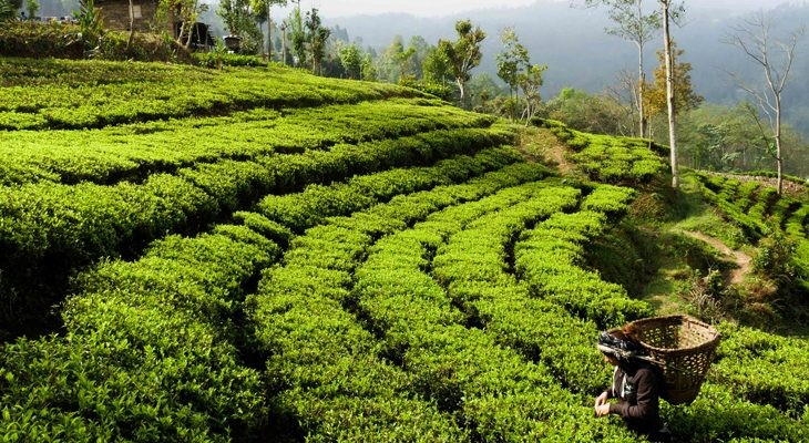 With lush green tea landscapes ilam in Nepal is the next place to be at